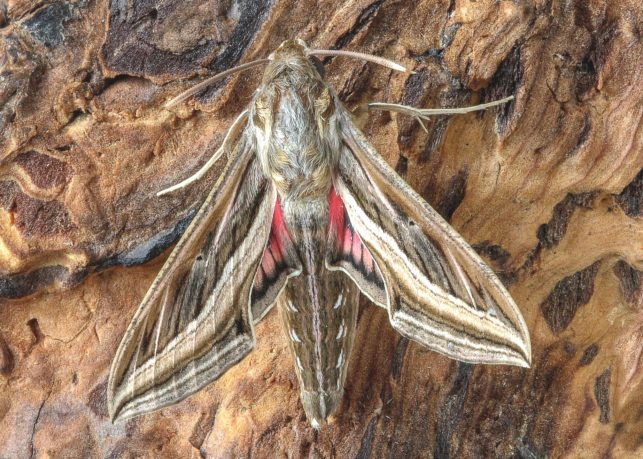 A silver striped hawkmoth camouflaged against a tree